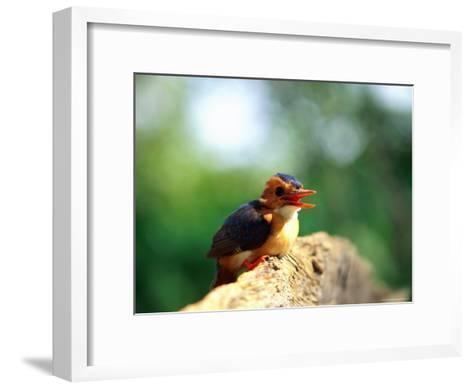 Pygmy Kingfisher-Beverly Joubert-Framed Art Print