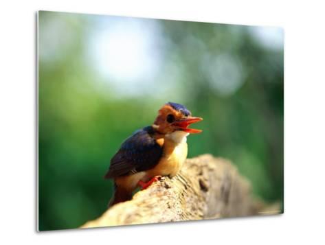 Pygmy Kingfisher-Beverly Joubert-Metal Print