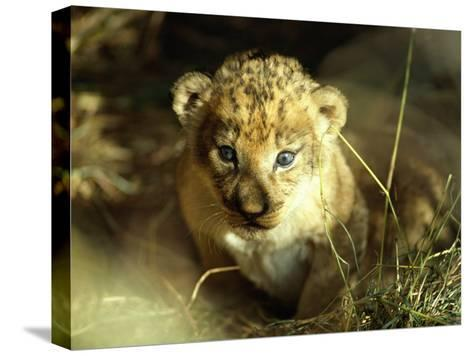 Close View of a Lion Cub-Beverly Joubert-Stretched Canvas Print