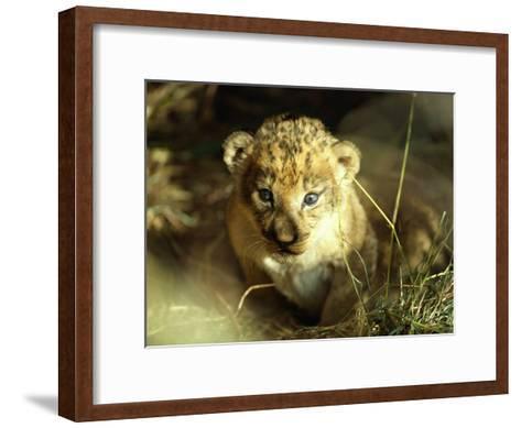 Close View of a Lion Cub-Beverly Joubert-Framed Art Print