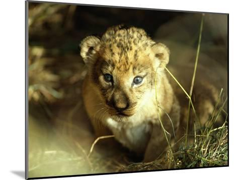 Close View of a Lion Cub-Beverly Joubert-Mounted Photographic Print