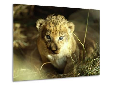 Close View of a Lion Cub-Beverly Joubert-Metal Print