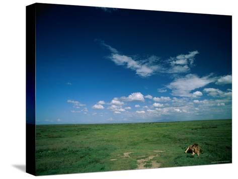 Lion Resting on the Vast Savanna-Beverly Joubert-Stretched Canvas Print