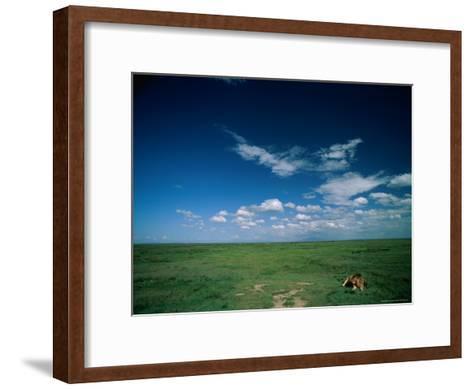 Lion Resting on the Vast Savanna-Beverly Joubert-Framed Art Print