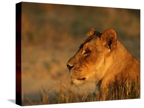Profile Portrait of an African Lioness-Beverly Joubert-Stretched Canvas Print