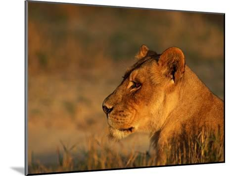 Profile Portrait of an African Lioness-Beverly Joubert-Mounted Photographic Print