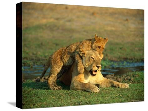 A Young Lion Climbs on the Back of its Mother-Beverly Joubert-Stretched Canvas Print