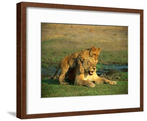 A Young Lion Climbs on the Back of its Mother-Beverly Joubert-Framed Art Print