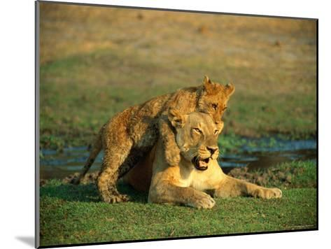 A Young Lion Climbs on the Back of its Mother-Beverly Joubert-Mounted Photographic Print