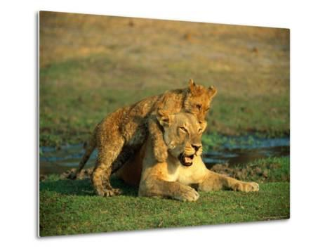 A Young Lion Climbs on the Back of its Mother-Beverly Joubert-Metal Print