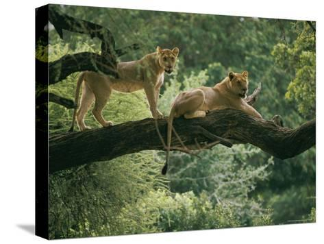 Two African Lions are Resting on a Tree Branch-Skip Brown-Stretched Canvas Print