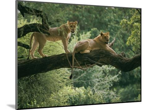 Two African Lions are Resting on a Tree Branch-Skip Brown-Mounted Photographic Print