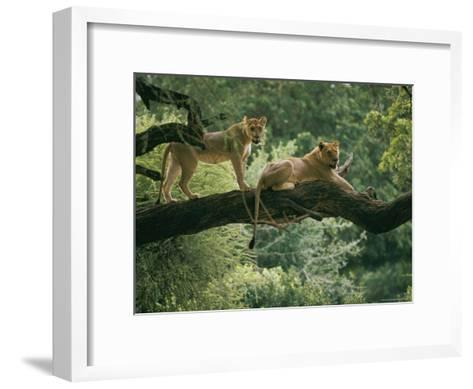 Two African Lions are Resting on a Tree Branch-Skip Brown-Framed Art Print