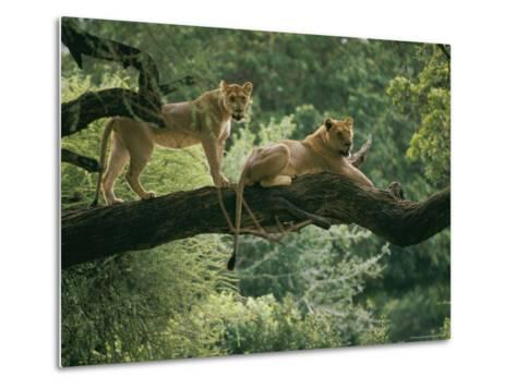 Two African Lions are Resting on a Tree Branch-Skip Brown-Metal Print