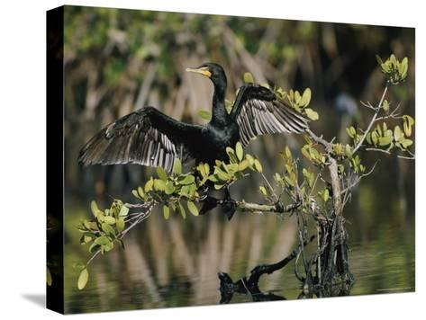 Double-Crested Cormorant with Wings Outstretched-Roy Toft-Stretched Canvas Print
