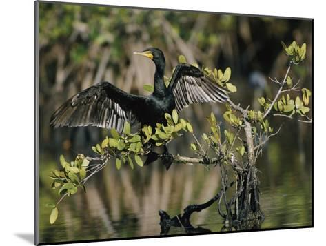 Double-Crested Cormorant with Wings Outstretched-Roy Toft-Mounted Photographic Print