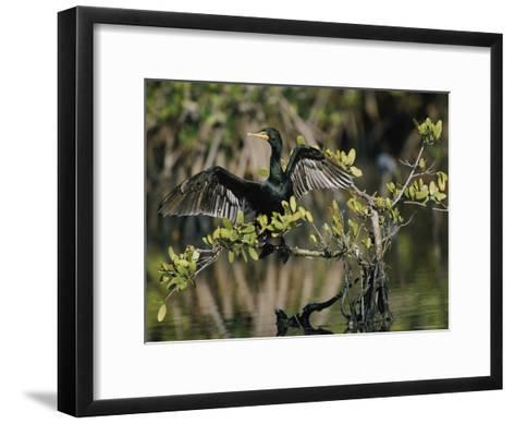 Double-Crested Cormorant with Wings Outstretched-Roy Toft-Framed Art Print