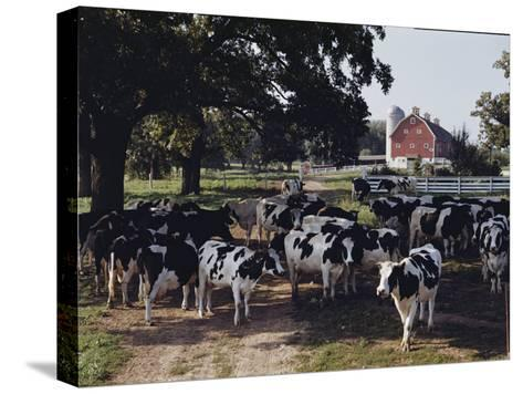 Herd of Dairy Cows on a Farm in Illinois-B^ Anthony Stewart-Stretched Canvas Print