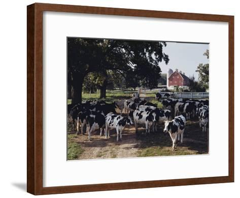 Herd of Dairy Cows on a Farm in Illinois-B^ Anthony Stewart-Framed Art Print