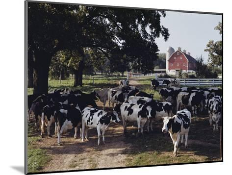 Herd of Dairy Cows on a Farm in Illinois-B^ Anthony Stewart-Mounted Photographic Print