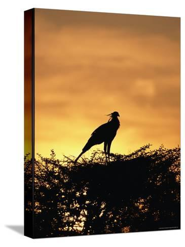 A Secretary Bird on Her Nest-Beverly Joubert-Stretched Canvas Print