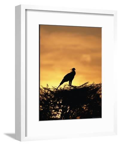 A Secretary Bird on Her Nest-Beverly Joubert-Framed Art Print