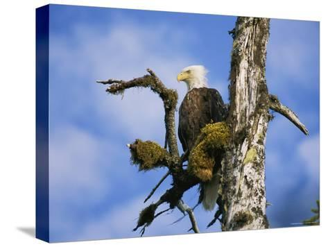 American Bald Eagle-Rich Reid-Stretched Canvas Print