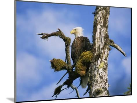 American Bald Eagle-Rich Reid-Mounted Photographic Print