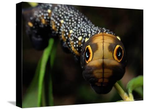 Close-up of a Moth Caterpillar(Xylophanes Falco) with False Eyes-Darlyne A^ Murawski-Stretched Canvas Print