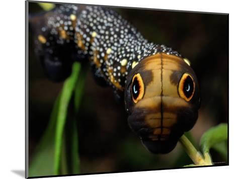 Close-up of a Moth Caterpillar(Xylophanes Falco) with False Eyes-Darlyne A^ Murawski-Mounted Photographic Print