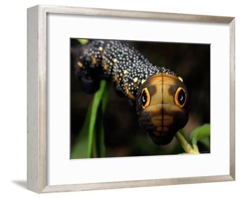 Close-up of a Moth Caterpillar(Xylophanes Falco) with False Eyes-Darlyne A^ Murawski-Framed Art Print