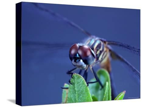 Close-up of a Male Blue Dasher Dragonfly-Robert Sisson-Stretched Canvas Print