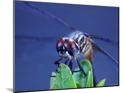 Close-up of a Male Blue Dasher Dragonfly-Robert Sisson-Mounted Photographic Print