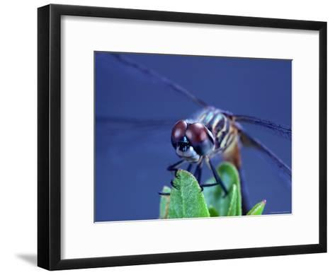 Close-up of a Male Blue Dasher Dragonfly-Robert Sisson-Framed Art Print