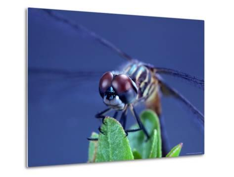 Close-up of a Male Blue Dasher Dragonfly-Robert Sisson-Metal Print