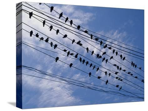 Flock of Birds Lined up on Overhead Wires-Pablo Corral Vega-Stretched Canvas Print