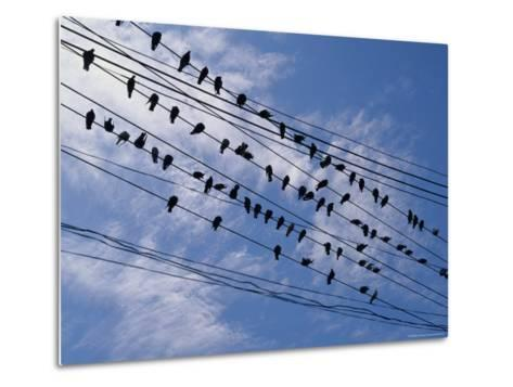 Flock of Birds Lined up on Overhead Wires-Pablo Corral Vega-Metal Print