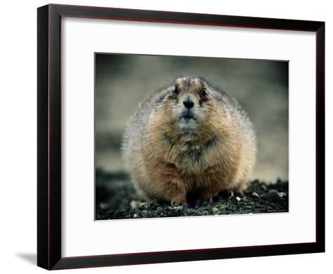 Close View of a Fat Prairie Dog-Joel Sartore-Framed Art Print
