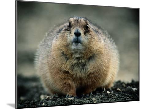 Close View of a Fat Prairie Dog-Joel Sartore-Mounted Photographic Print