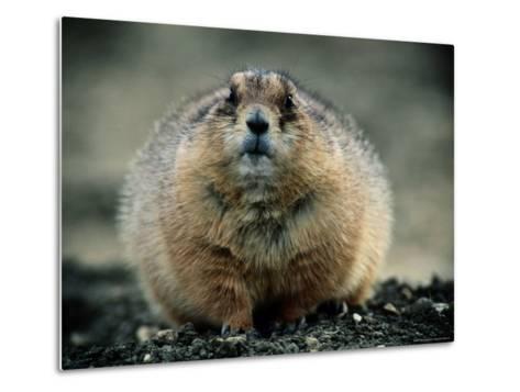 Close View of a Fat Prairie Dog-Joel Sartore-Metal Print