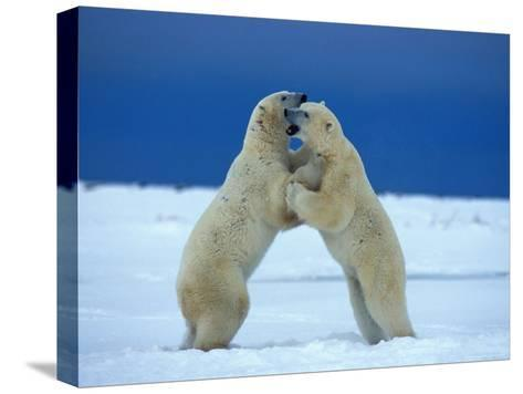 Young Male Polar Bears Spar with One Another-Norbert Rosing-Stretched Canvas Print