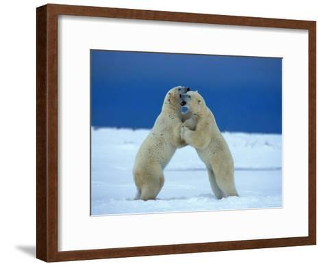 Young Male Polar Bears Spar with One Another-Norbert Rosing-Framed Art Print