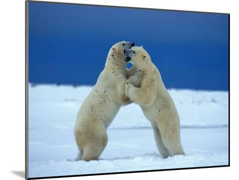 Young Male Polar Bears Spar with One Another-Norbert Rosing-Mounted Photographic Print