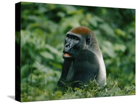 A Portrait of a Lowland Gorilla Appearing to Look Surprised-Michael Fay-Stretched Canvas Print