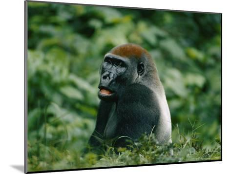 A Portrait of a Lowland Gorilla Appearing to Look Surprised-Michael Fay-Mounted Photographic Print