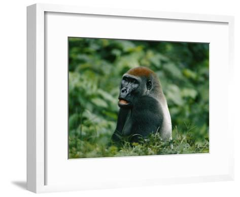 A Portrait of a Lowland Gorilla Appearing to Look Surprised-Michael Fay-Framed Art Print