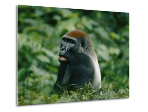 A Portrait of a Lowland Gorilla Appearing to Look Surprised-Michael Fay-Metal Print