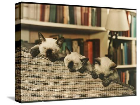 Three Siamese Kittens Take a Nap by Resting Their Heads on the Arm of a Padded Chair-Willard Culver-Stretched Canvas Print