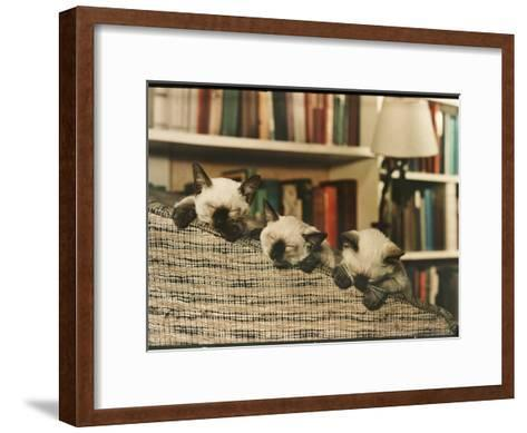 Three Siamese Kittens Take a Nap by Resting Their Heads on the Arm of a Padded Chair-Willard Culver-Framed Art Print