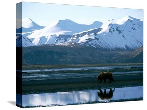 A Grizzly Bear Walks on a Mud Flat-Joel Sartore-Stretched Canvas Print